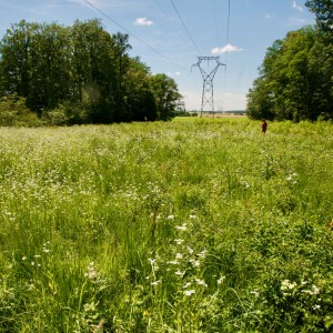 A field of wildflowers with trees on either side and an elecrical transmission line overhead, which connects to a tower in the background